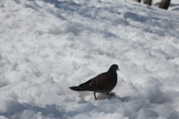 残雪期巻機山